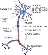sel-saraf